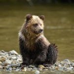 Grizzly Sitting on the Riverside