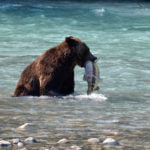 Grizzly Fishing in the river
