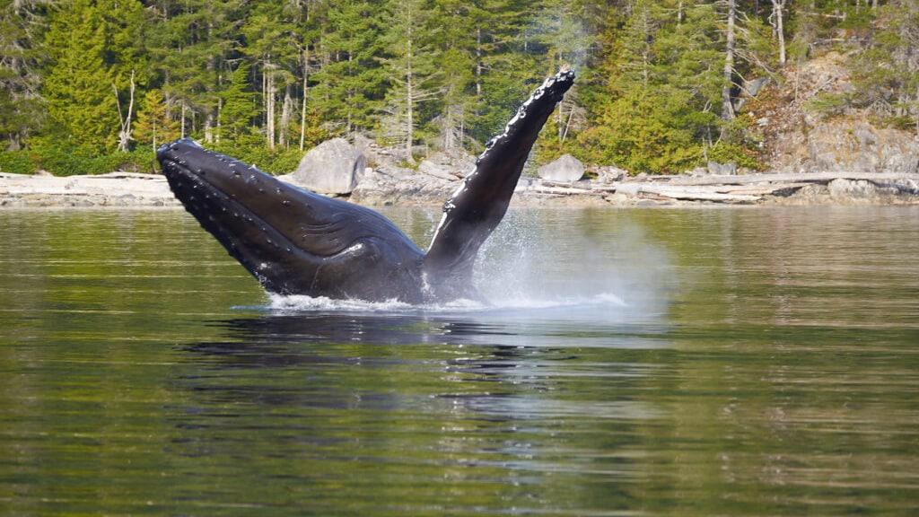 Humpback Breaching