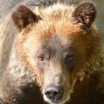 Close up of Grizzly Bear seen on Campbell River Grizzly Bear Tour