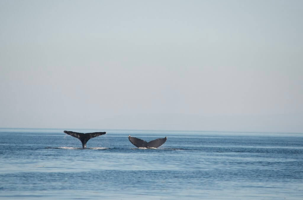 Two Humpabck Whale Tails
