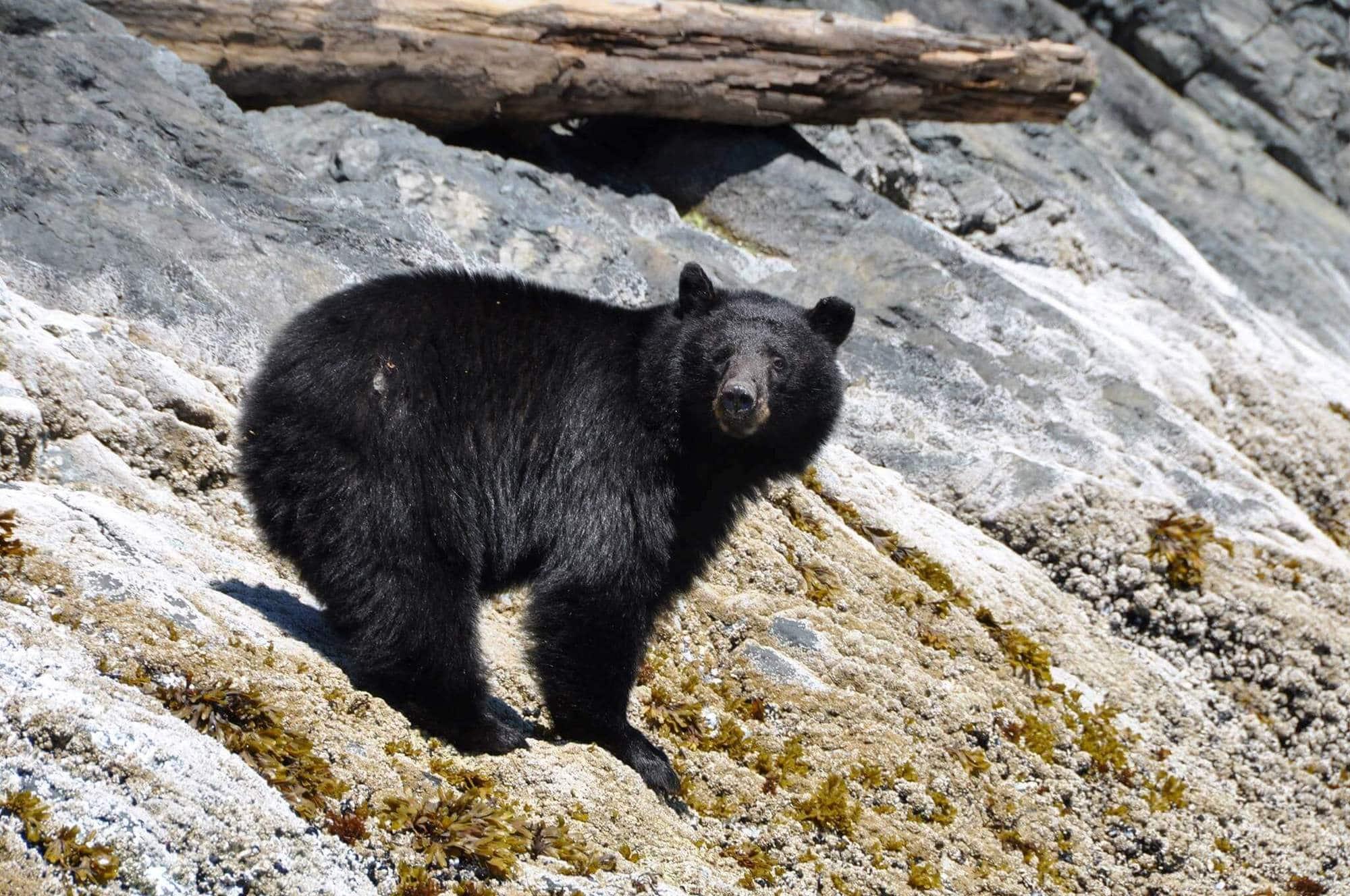 Black Bear Standing on Rocky Shore