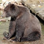 Grizzly Bear sittingon a wooden dock