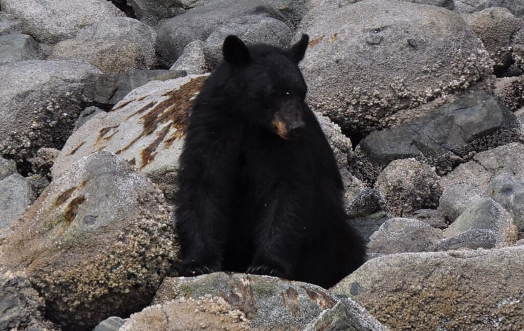 Black Bear Sitting on the rocky shore