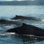 Three humpback whales swimming side by side.