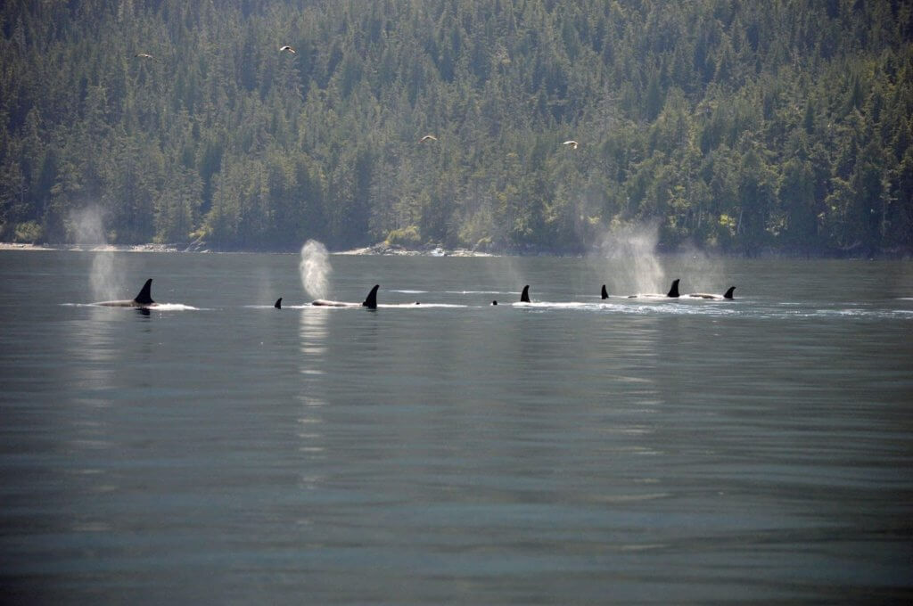 Large pod of Orca swimming in calm water
