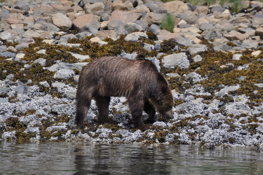 Grizzly Bear on beach with head down