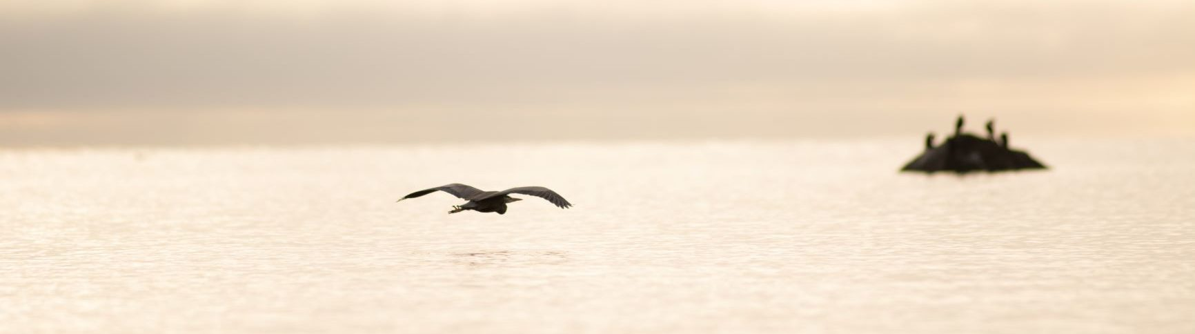 Blue Heron flying low over water