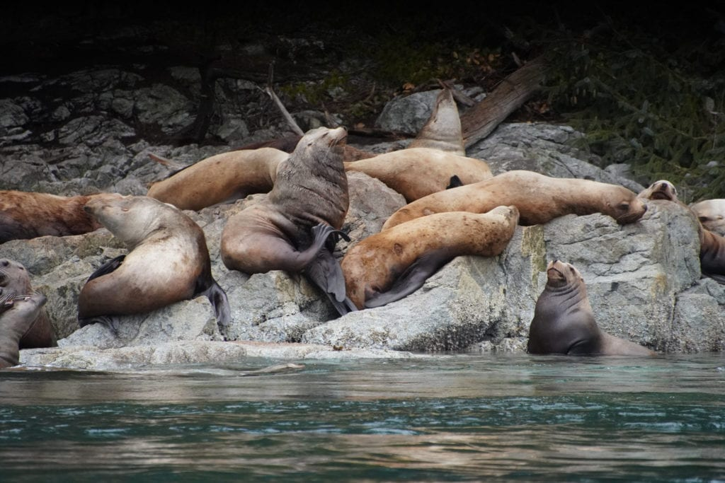 Group of sealions lounging on the rocks