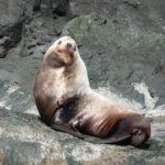 Sea Lion sitting on rocks looking back