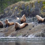 8 Sealions sitting on a rock