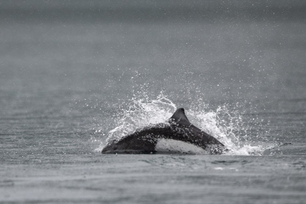Dalls Porpoise splashing through the water