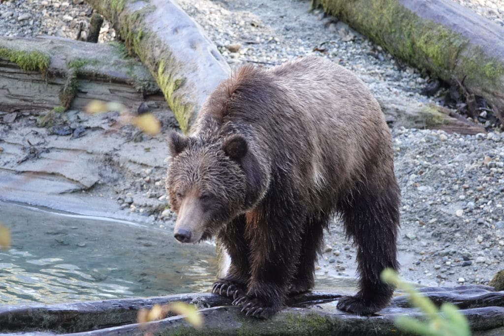 Grizzly Bear standing on log on the river. Background is logs on a rocky riverbank.
