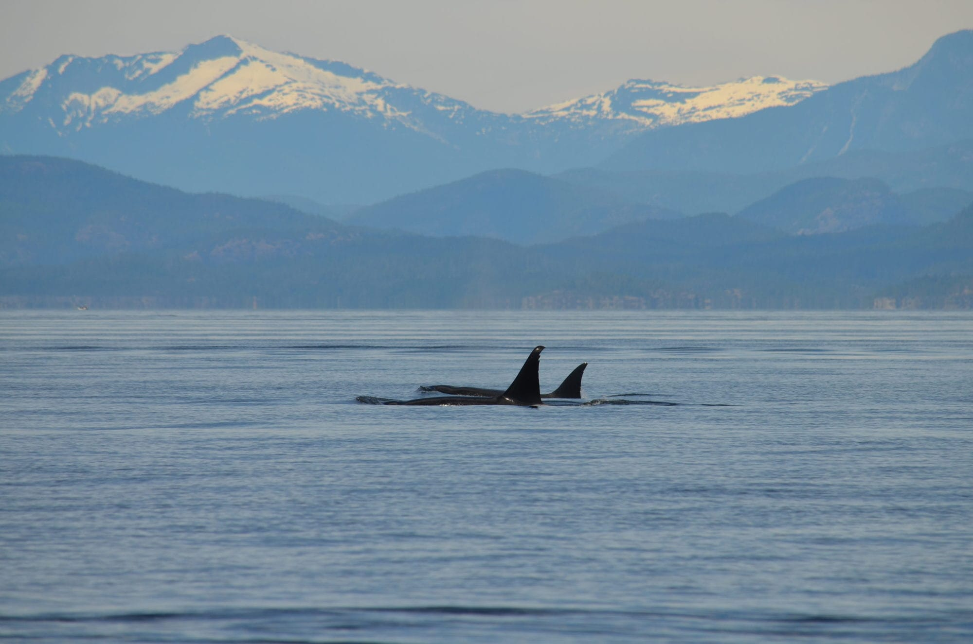 Two orcas swimming in front of snow capped mountains