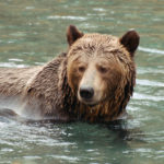 Grizzly Bear standing in the still water