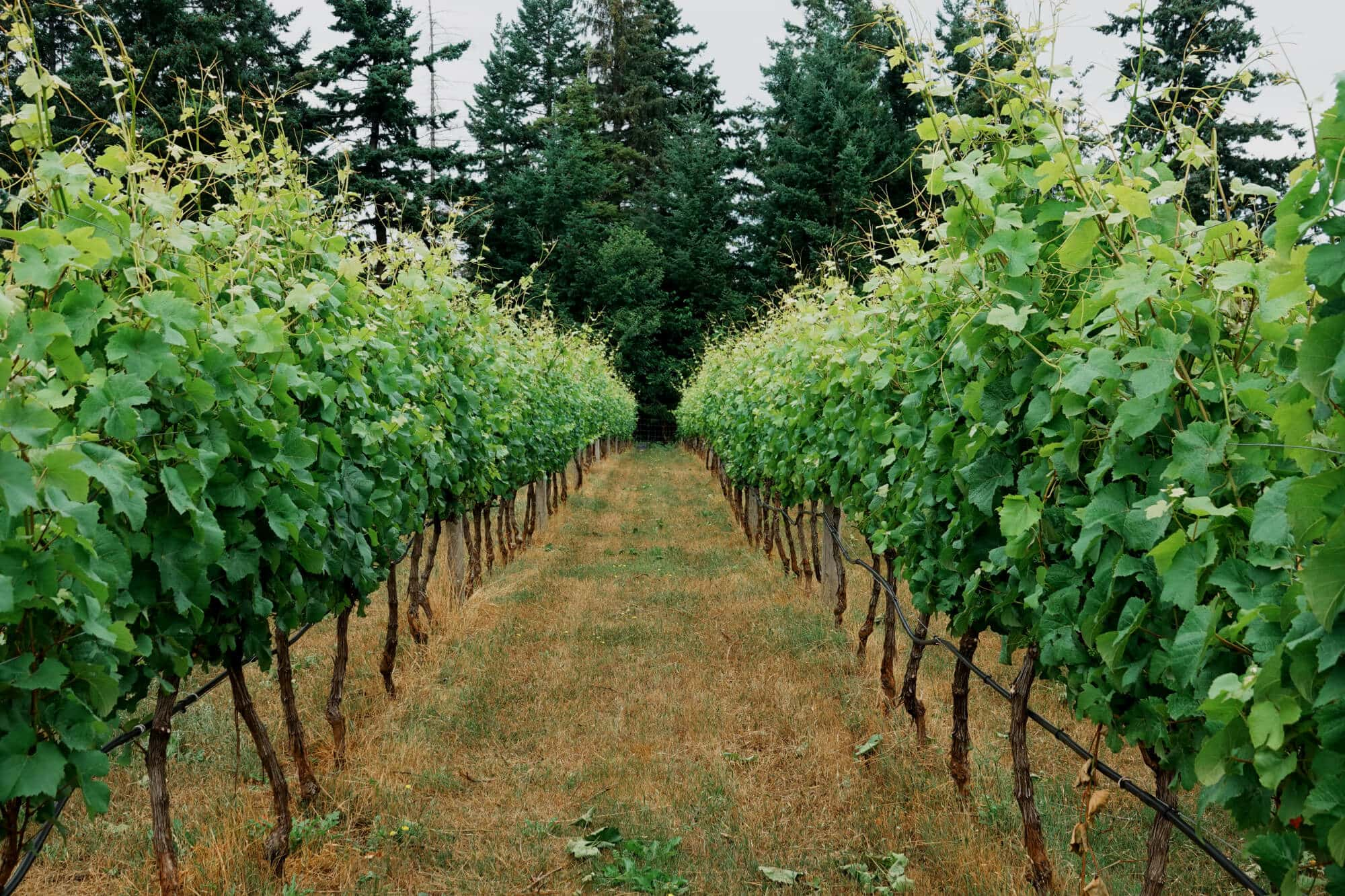 Two rows of Grapes in a Vineyard
