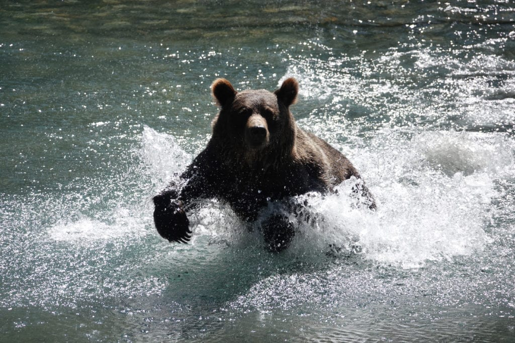 Grizzly Bear charging through river