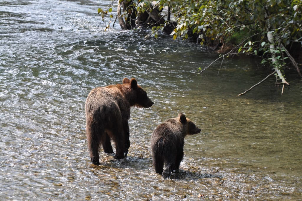 Mom and cub Grizzly Bear in River