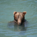 Grizzly floating in river