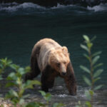 Grizzly bear seen through foliage