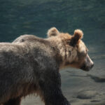 side profile of grizzly bear