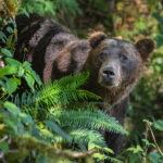 Bear poking head through ferns and underbrush