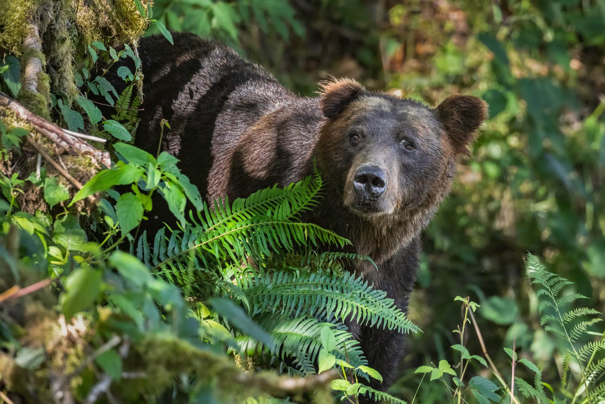 Grizzly Bear standing in ferns and bushes