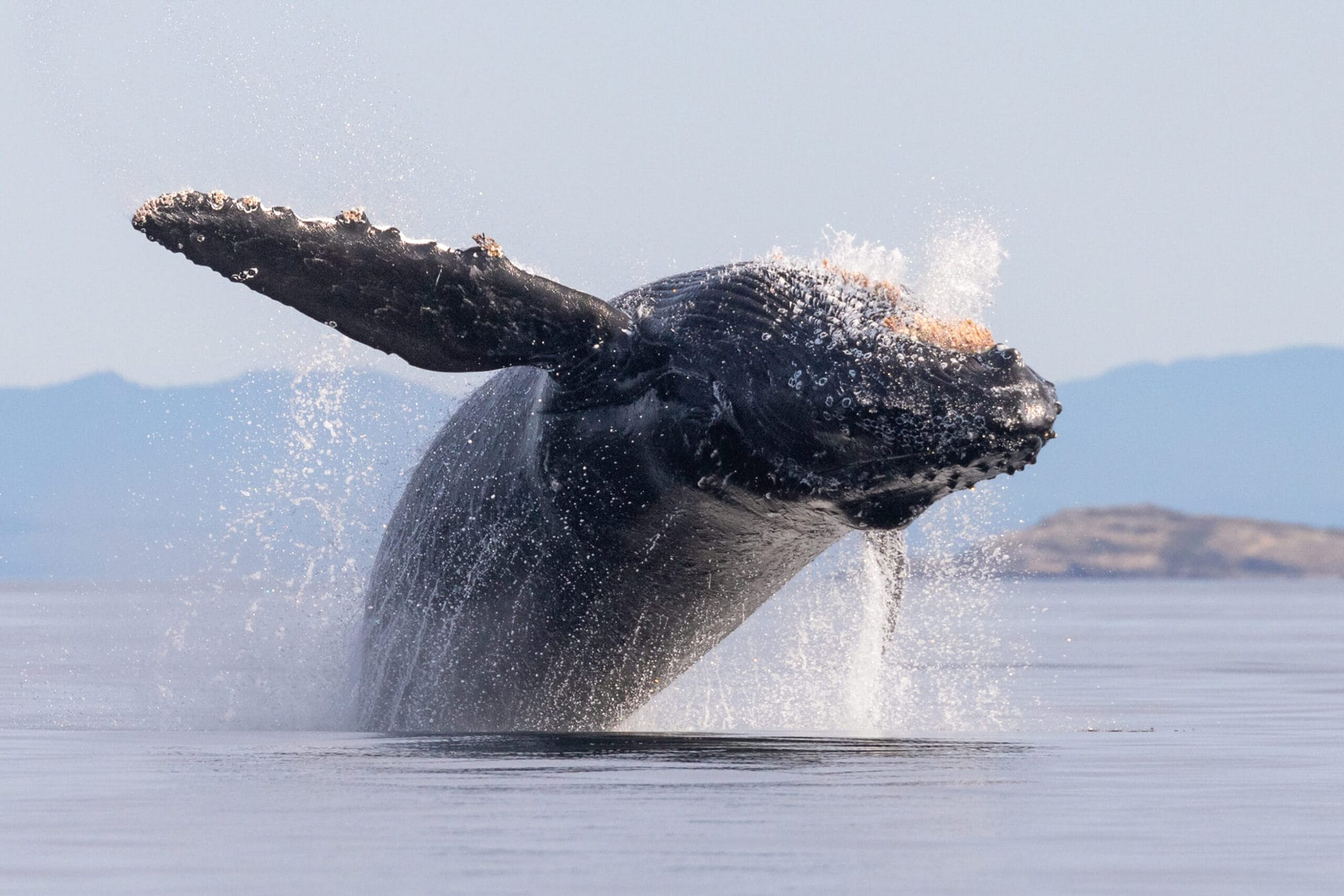 Close up of Humpback Whale Breaching towards camera in calm water. There is a small island in the background.