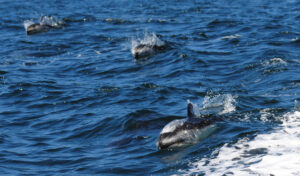 Dolphins swimming in small waves