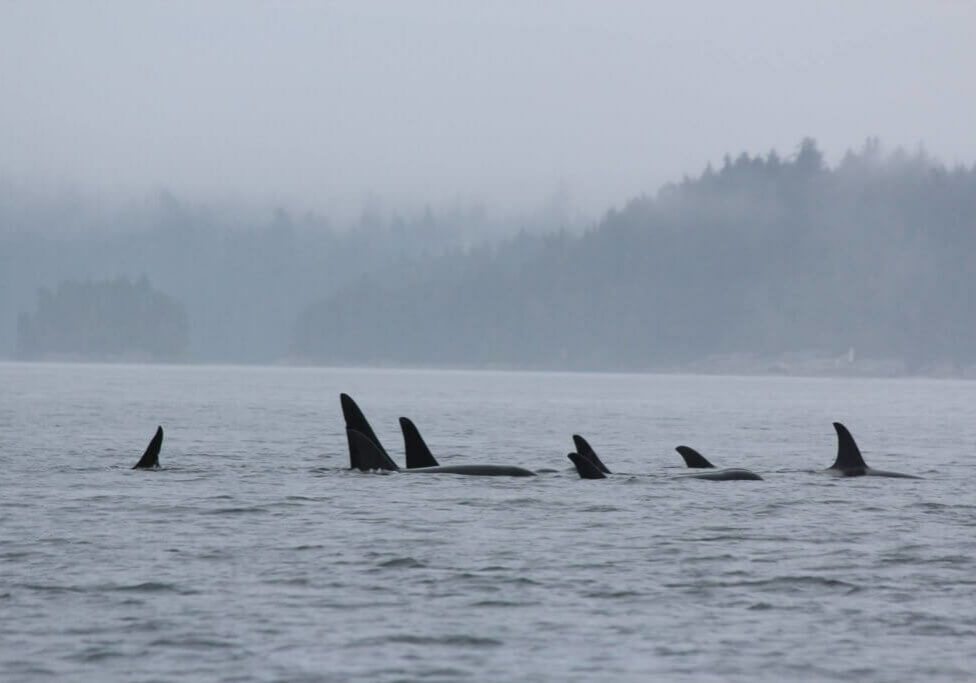 Group of 7 orca swimming through mist
