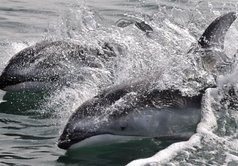 3-dolphin-crop